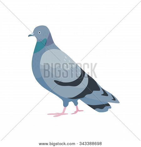 Gray Pigeon Flat Vector Illustration. Cute Bird With Dark Grey Plumage. Standing Dove Side View. Urb