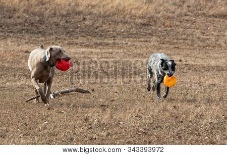 Two dogs carrying balls and running towards the viewer, out on dry winter grass