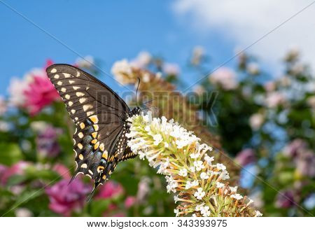 Ventral view of a Black Swallowtail butterfly feeding on white flower clusters of a Butterfly bush in summer garden