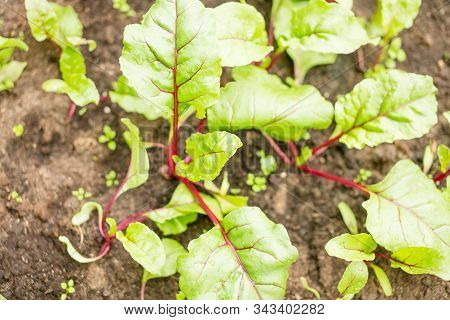 Beet Seedlings On A Bed In The Garden.ground Beet Shoots Red Purple Stems. Garden Plant Green Leaf.
