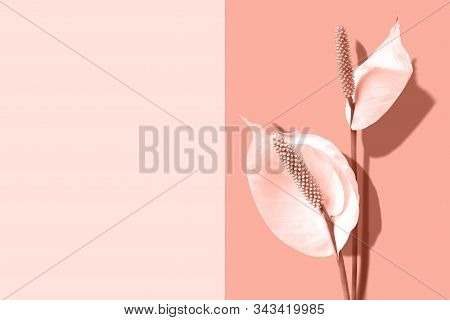 Spathiphyllum Flowers On Coral Color Background With Copy Space. Minimal Design. Creative Summer Fla
