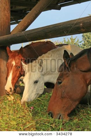 Guzzling Horses