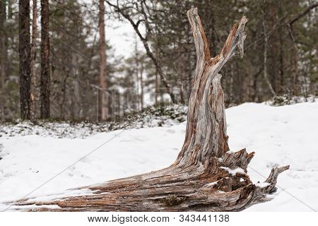 Large Driftwood Tree Snag Laying In A White Snow In The Forest