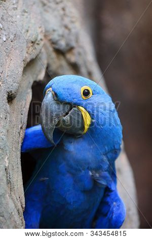The Hyacinth Macaw (anodorhynchus Hyacinthinus) Or Hyacinthine Macaw Peeks Out Of Its Nesting Cavity