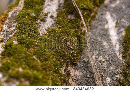 Green Moss On Walnut Bark Closeup. Stock Photo Of Walnut Tree Bark And Forest Green Moss.
