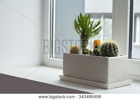 Small Multicolored Cacti And Succulents In A Large White Pot On The Windowsill, Soft Focus, Place Fo