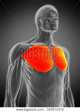 3d rendered medically accurate muscle anatomy illustration - pectoralis major