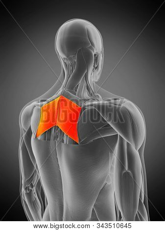 3d rendered medically accurate muscle anatomy illustration - rhomboid major