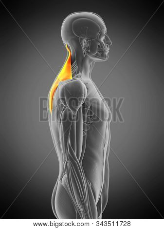 3d rendered medically accurate muscle anatomy illustration - trapezius
