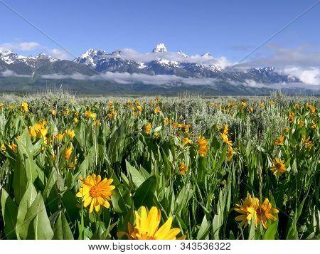 Grand Teton Mountain And Yellow Balsamroot Flowers In Wyoming