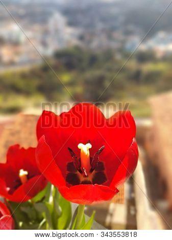 Tulipa Vermelha, A Flor Do Amor Verdadeiro