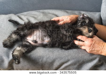 Frightened Puppy Lies After An Operation To Remove An Umbilical Hernia With Sutures On The Abdomen A