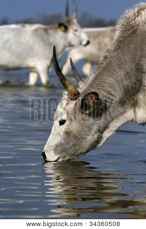 Hungarian grey cattle drinking from the river poster