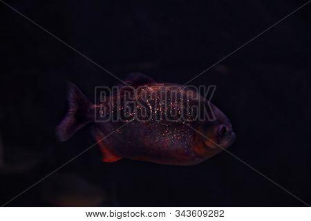Shiny Piranha Fish Swimming In Dark Aquarium