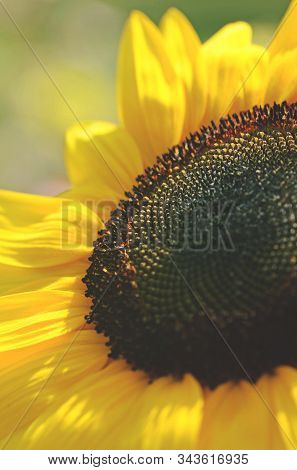 Close Up Of A Sunflower, Helianthus Annuus, Family Asteraceae. Shallow Depth Of Field.