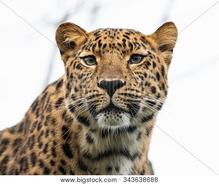 Portrait Of A Leopard (panthera Pardus Ssp. Orientalis) On A Cloudy Day In Winter In A Zoo