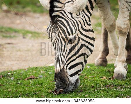A Close Up Of A Zebra Grazing (equus Quagga Burchelli)