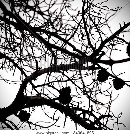 Leafless Tree Branches. Scary Tree Silhouette Wity Pinecones.