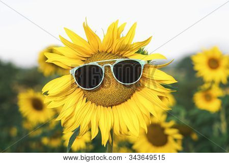 Sunflower With Blue Sunglasses In A Field Of Sunflowers, On A Sunny Summer Day. Happy Summer Vacatio
