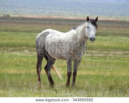 Wild Horse Roaming The Adobe Valley Floor And Foothills In The Eastern Sierra Nevada Mountains, Cali