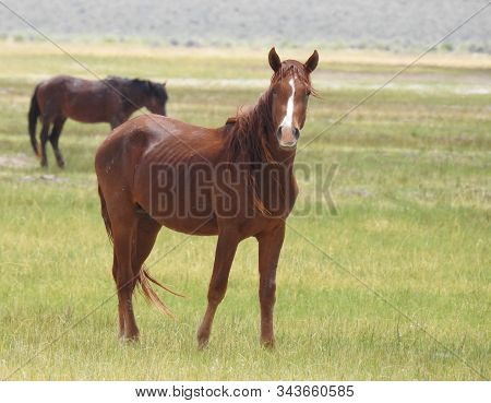 Wild Horses Roaming The Adobe Valley Floor And Foothills, In The Eastern Sierra Nevada Mountains, Ca