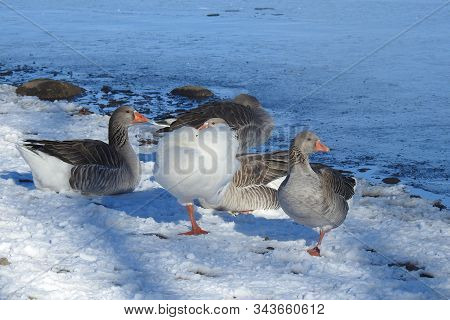 Several Greylag Geese, And A Snow Goose, Frolicking On The Snowy Shores Of Watson Lake, Arizona.