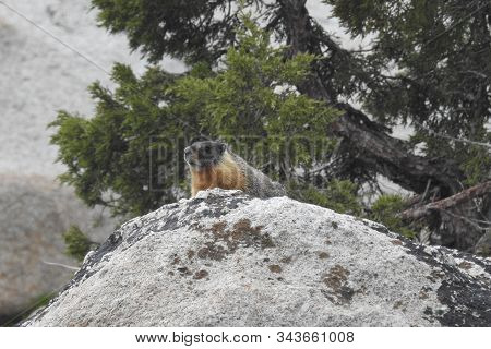 A Playful, Yellow-bellied Marmot, Perched Upon Large Granite Boulders, Sonora Pass, California Highw