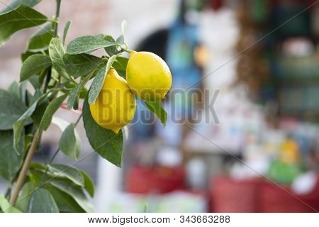 Yellow Lemons Hanging On Tree. There Are Two Lemons In The Tree. Yellow. Blurred Background.