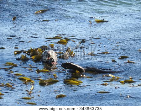 A Playful Sea Otter Relaxing On A Bed Of Kelp In Morro Bay, California.