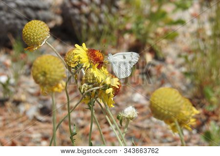 Checkered White Butterfly Gathering Nectar From Wild Flowers In Yavapai County, Camp Verde, Arizona.