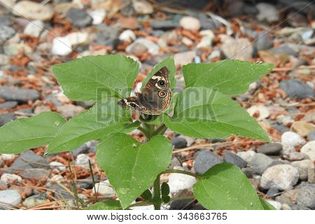 Buckeye Butterfly Perched Upon A Green Leafed Plant Growing In Yavapai County, Camp Verde, Arizona.