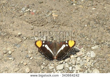 California Sister Butterfly Resting In The Sandy Gravel, In The Sespe Wilderness, In The Los Padres