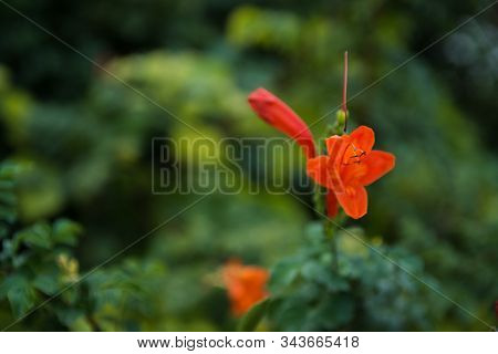 Gardening Concept. Beautiful Flowers Tecomaria Capensis On Green Branch Over Green Blurred Backgroun