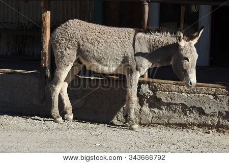 A Wild Burro Hanging Out In The Town Of Oatman, Arizona.