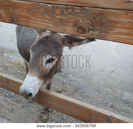 Wild Burro Peeking Through A Wooden Fence In The Old Western Town Of Oatman, Arizona.