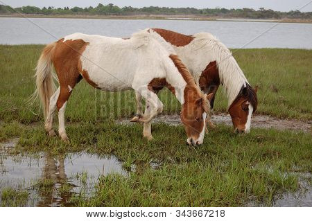 A Pair Of Wild, Painted Horses, Feeding On The Saltwater Cord-grass Growing In The Marsh, On Assatea