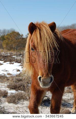 Wild Horse, Assateague Island, Worcester County, Maryland.