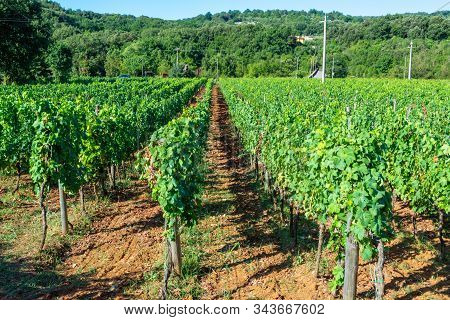 Vineyard With Growing Red Or Rose Wine Grapes In Lazio Mountains, Italy, Sirah, Petit Verdot, Cabern
