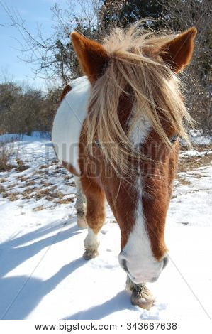 Wild Horse Walking In The Snow, Assateague Island, Worcester County, Maryland.