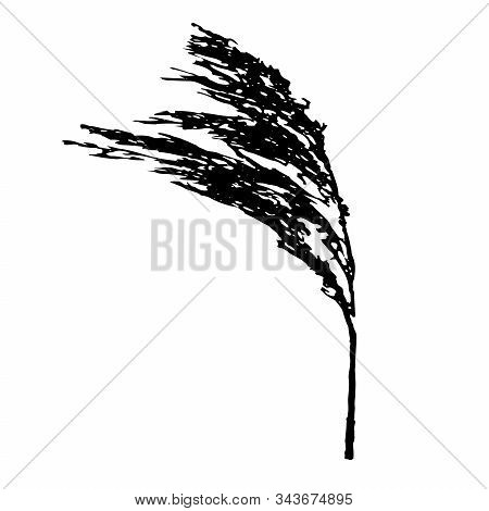 Vector Illustration Of A Black Branches Of Fluffy Phragmites Australis Cane Seed Head Isolated On A