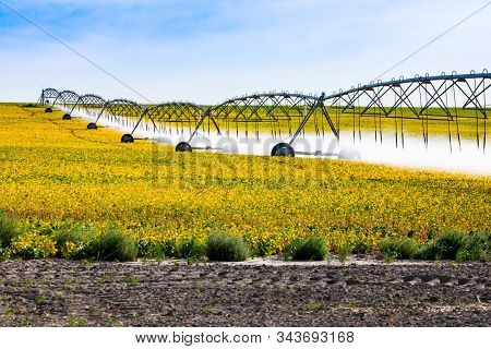A Golden Field Of Young Vegetable Crops Is Seen In Alberta, Canada, With A Long Central Pivot Automa