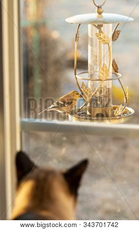 American Goldfinch eating seeds from a feeder in winter morning sun, with a cat watching it through the window; focus on the bird