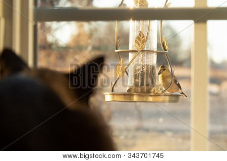 Goldfinch in winter plumage at bird feeder eating sunflower seeds, while a cat is watching it through the window; focus on the bird