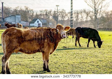 Cow Red Amid Countryside. Cows On A Sunny Day On A Farm . Cattle Of Young Cows At The Meadow . Herd