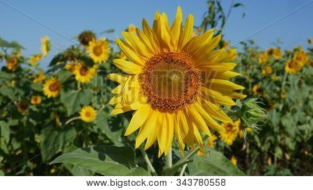This Sunflower Species Is Also Used As Wild Bird Food, As Livestock Forage (as A Meal Or A Silage Pl