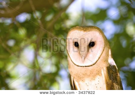 Portrait of a Barn Owl Sitting in a Tree poster
