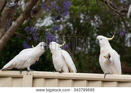 Sulphur-crested Cockatoos Seating On A Fence Eating Bread. Australian Urban Wildlife. Don't Feed Wil