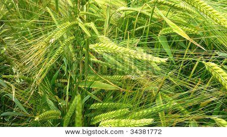 A close up ripening Wheat