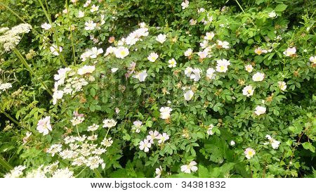 Dog Rose flowering in a hedgerow
