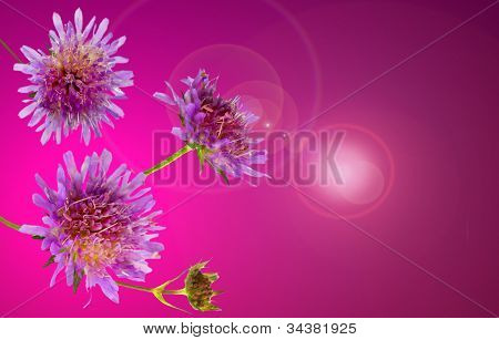Lilac coloured Pincushion flower or scabiosa columbaria which attracts inects in the garden with its rich nectar poster